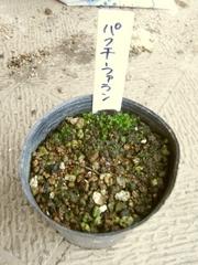 R0011393_パクチーファランの種蒔き