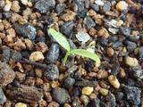 パクチー 発芽2