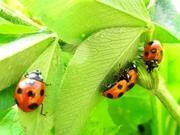 R0021887_道端のてんとう虫を集める_20091123