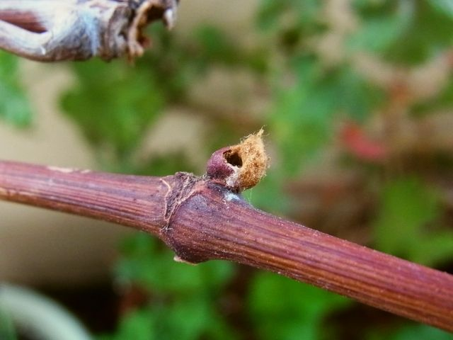 R0055022_ブドウの新芽の穴_近くにミノムシいた_20130323