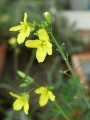 R0020815_セルバチコの花_20090912