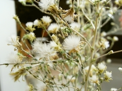 R0012143_レタスの綿毛のドライフラワー