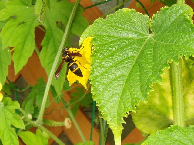 DSC06339_胡瓜の雌花にスズメバチ