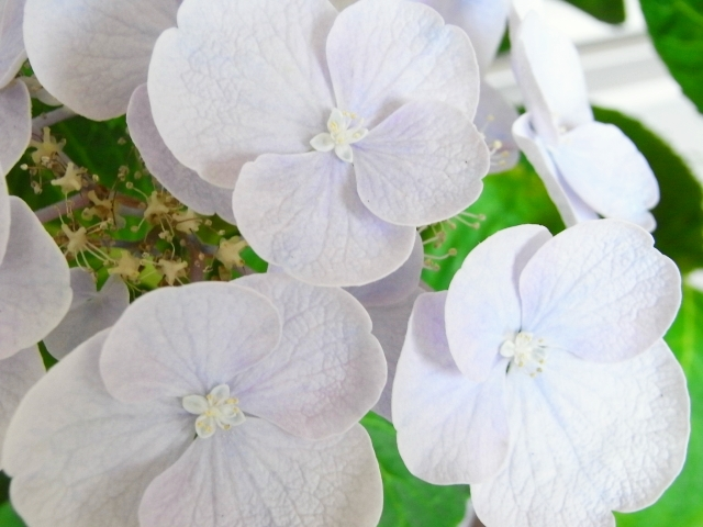 R0026181_アジサイ装飾花の中も開花_20100710