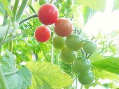 R0056885_赤ミニトマトシャンデリアトマトの実_20130629