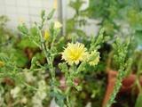 DSC06280_ガーデンサラダミックスの花