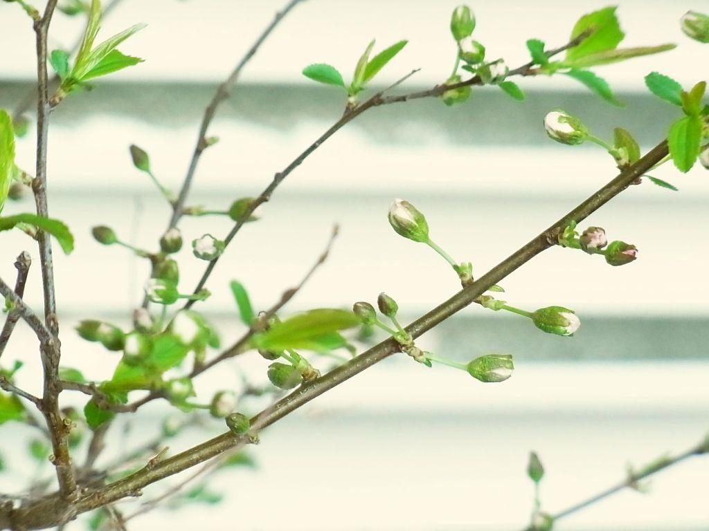 R0060172_一重庭桜のツボミ_20140330