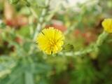 DSC06623_レタスの花