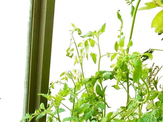 R0045396_ミニトマトの花_20110923