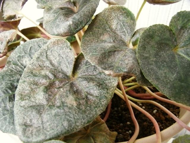 R0025219_シクラメンの葉が変_20100522