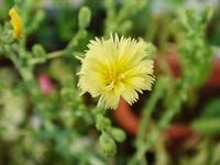 DSC06276_ガーデンサラダミックスの花