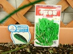 R0011354_春菊の種蒔き