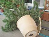 DSC04712_ローズマリーの鉢が割れる