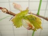 DSC03638_ブドウの新芽