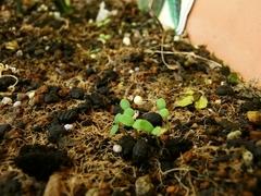 R0011628_春菊の発芽