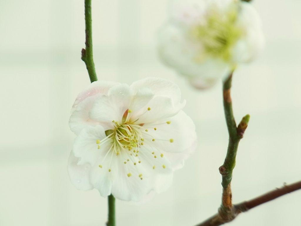 R0054776_梅の開花_20130309