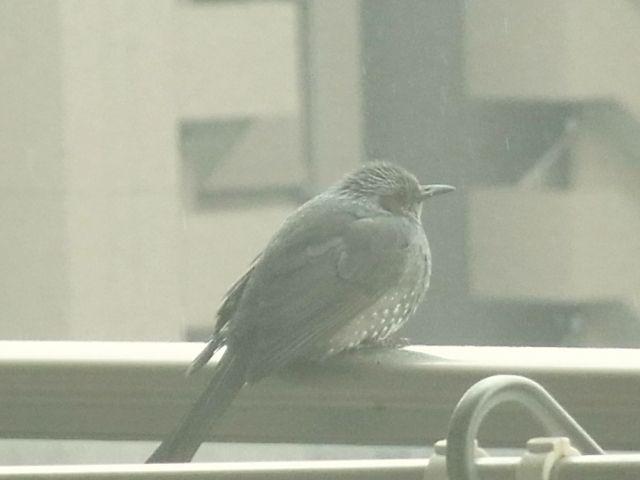 R0040103_ヒヨドリ_20110212