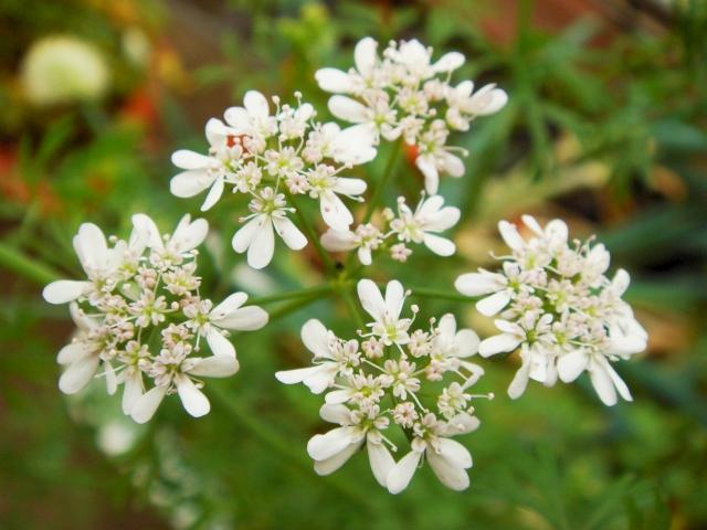 DSC04789_パクチーの成熟した花