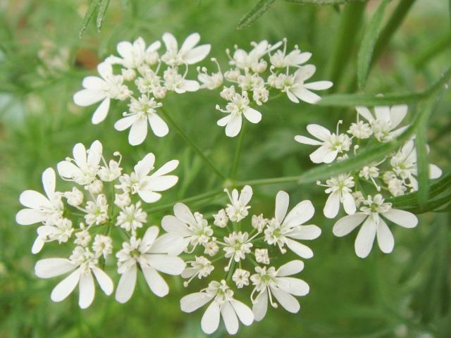 DSC04787_パクチーの若い花