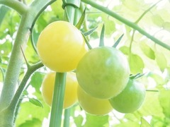 R0056888_黄色ミニトマトアイスレモンの実_20130629