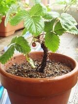 DSC05766_ワイルドストロベリーの木
