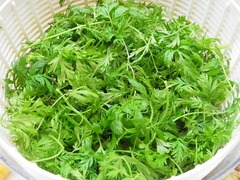 R0048497_カラフルキャロットの葉収穫_20120320
