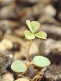 DSC03637_片喰の発芽
