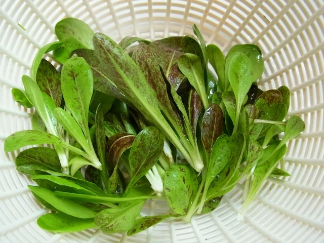 R0040457_チコリ間引き収穫_20110227