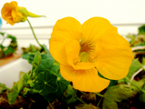 DSC03871_ナスタチウム開花