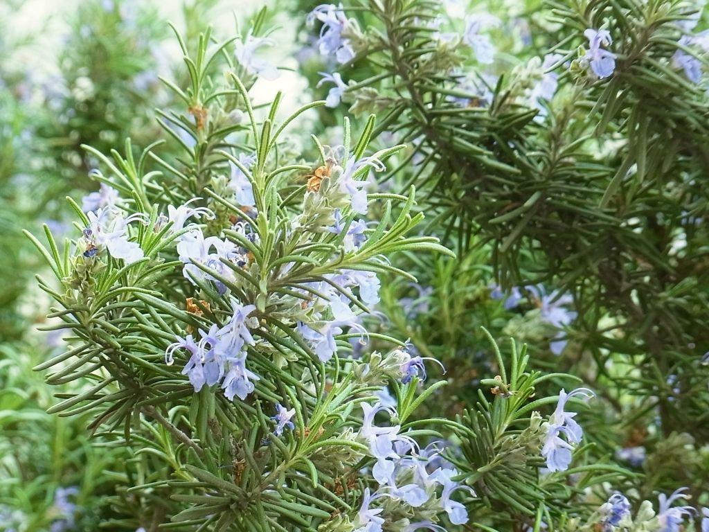 R0049139_ローズマリーの花満開_20120421