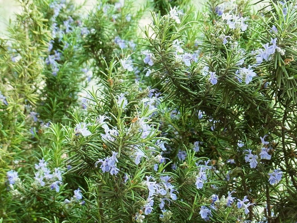 R0049138_ローズマリーの花満開_20120421