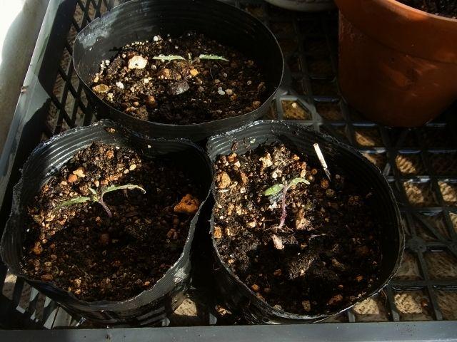 R0055280_こぼれ種発芽ミニトマトを苗ポットに移植_20130413