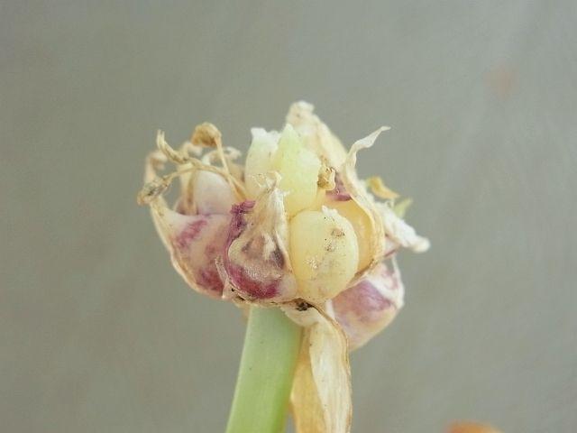 R0050950_ニンニクの花芽の先のムカゴ_20120630