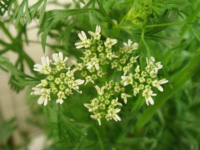 DSC04780_パクチーの幼い花