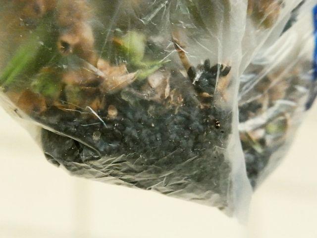 R0053409_バジルの穂をビニール袋で揉んで採種_20121008