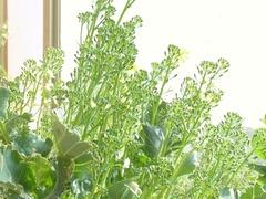 R0041379_ブロッコリーの花芽_20110410