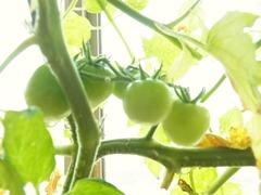 R0043448_ミニトマトアイスレモンの実はまだ色付かず_20110702