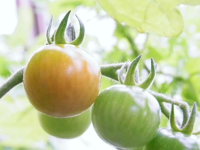 R0056822_シャンデリアミニトマトの実が色付き始める_20130622