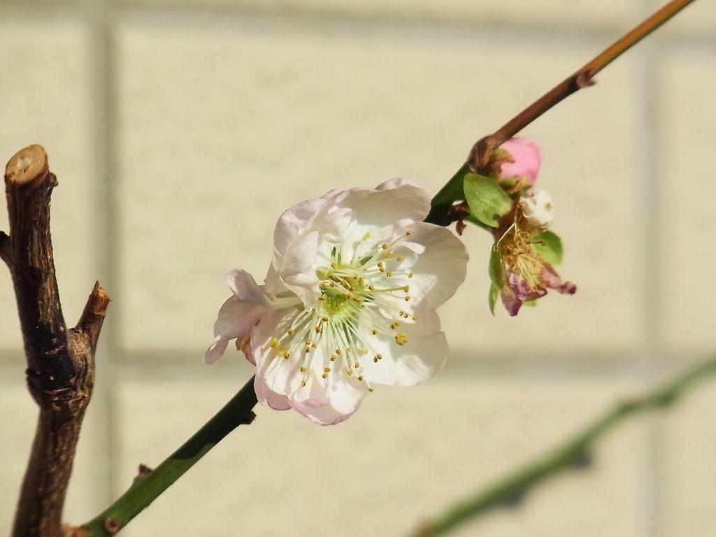 R0046551_梅内裏狂い咲き_20111123