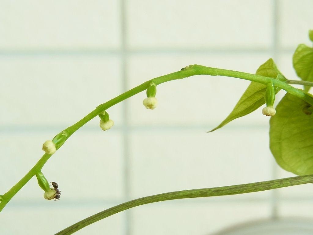 R0057419_山芋の雌花に蟻_20130727
