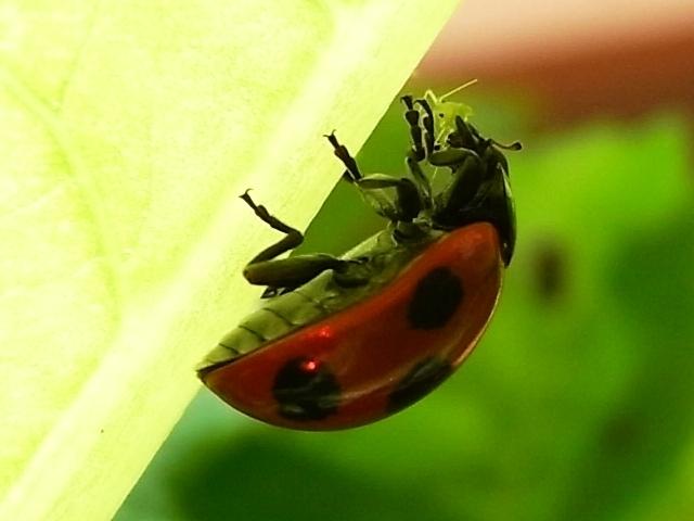 R0021893_アブラムシを喰うてんとう虫_20091123