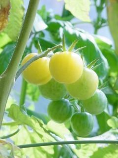 R0057026_ミニトマトアイスレモンの実_20130706