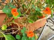 R0012098_ナスタチウムが続々開花