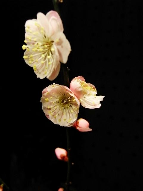 R0022773_梅の開花_20100204