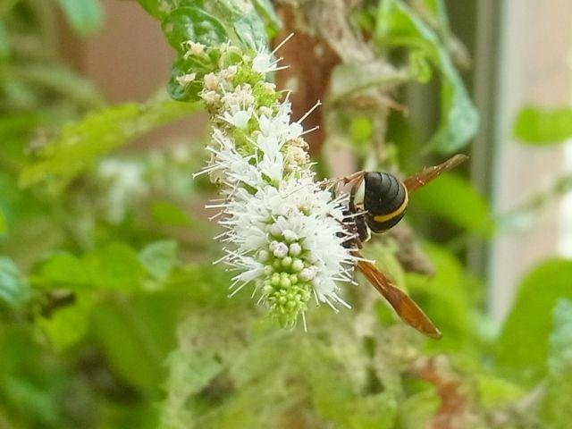 R0052515_スペアミントの花にオオフタオビドロバチ_20120901