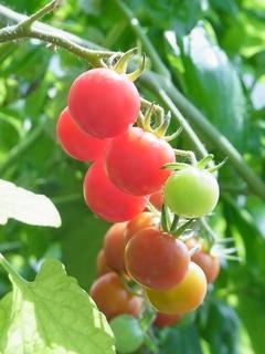 R0057025_ミニトマトシャンデリアトマトの実_20130706
