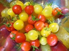 R0044320_ミニトマト収穫_20110730