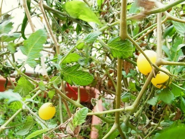 R0045395_ミニトマトアイスレモンの実_20110923