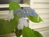 DSC05356_ヤマアジサイ甘茶の花