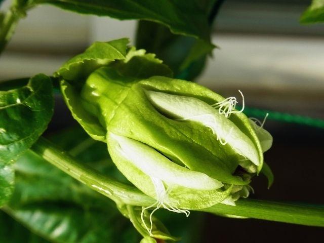 R0050615_パッションフルーツの花しぼむ_20120617